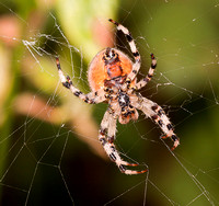 _MG_0822 Orb Spider
