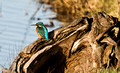Kingfisher on Log