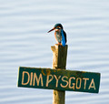 Kingfisher on No Fishing post