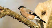 _MG_5778-Bullfinch