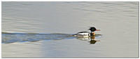 _MG_7347 Merganser