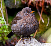 _MG_3770 Blackbird (f)