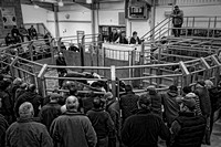 Monmouthshire Cattle Mart- 6-Jan-17
