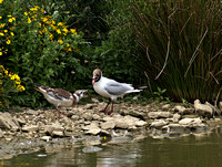Black Headed Gull & Young