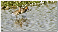 Pair of BLACK TAILED GODWITS