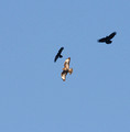 Common Buzzard being chased by Crows