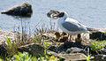 Black Headed Gull with chicks